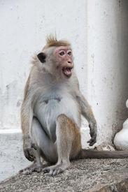 pic of tarzan  - Portrait of wild smart monkey with smart and very loud look - JPG