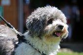 Bichon Frise - Shih Tzu (Correct Spelling) dog. Combination Shih Tzu and Bichon Frise dog outside en poster