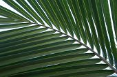 Close Up Of Green Palm Tree Leaf