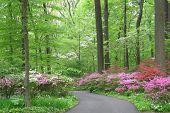 Azalea woodland