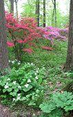 Trilliums and azaleas