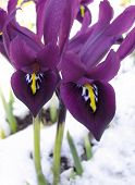 Spring iris blooming through the snow