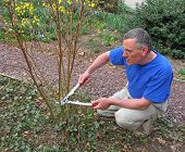 Man pruning red twig dogwood bush