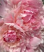 Beautiful Light Pink And Pink Flower Peony Closeup Background. Beautiful Pink Spring Flower Peony Cl poster
