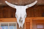 Mounted Cattle Skull