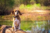 Funny Surprised Portrait Of Pure Breed Beagle Dog Seated At Trunk Lakeside. Big Ears Listening Or He poster