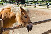 Pony With A Hair. Funny Pony On A Farm. Pony Portrait poster