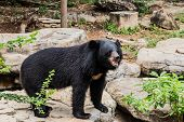 Asian Black Bear With Chest The V Shape Is White Wool / Close Up Asiatic Black Bear Relax In The Sum poster