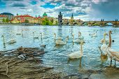Popular Travel And Tourism Location In Europe. Picturesque Cityscape With Tame Swans And Ducks On Vl poster