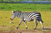 Zebras at Amboseli National Park