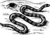 Snake anilius