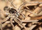Ground Spider