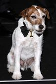 LOS ANGELES - FEB 26:  Uggie arrives at the 84th Academy Awards at the Hollywood & Highland Center o
