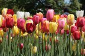 Brightly Colored Tupips (Tulipa)