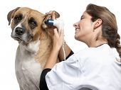 stock photo of otoscope  - Vet examining a Crossbreed dog - JPG