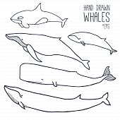 Hand Drawn Whales Set. Outline Vector. Zoological Illustration. Marine Mammals, Such As  Blue Whale, poster