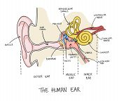 Hand Drawn Illustration Of Human Ear Anatomy. Colorful Educational Diagram With Main Parts Labeled I poster