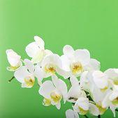 Ornamental Fresh White Orchids