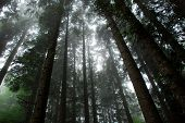 Fog in the coniferous forest with tall trees