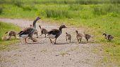greylag and goslings