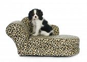 dog sitting on couch - cavalier king charles spaniel puppy sitting on dog couch isolated on white ba