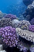coral reef with hard corals on the bottom of red sea