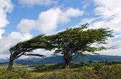 Wind-bent Trees In Fireland (tierra Del Fuego)