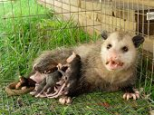 image of possum  - A mother possum with babies in a cage - JPG