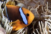 Orange-Fin Anemonefish or Clown Fish
