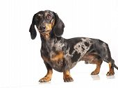 picture of long hair dachshund  - tiger dachshund on a white background pose - JPG