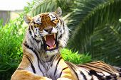 picture of zoo  - A Tiger is roaring in a Zoo - JPG