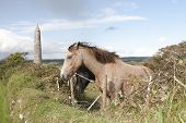 Two Grazing Irish Horses And Ancient Round Tower