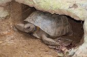 pic of gopher  - Gopher Tortoise burrowed in it - JPG