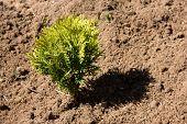 Small Thuja In Dry Soil