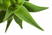 image of aloe-vera  - A close up of aloe vera leaves - JPG
