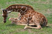 Giraffe takes a break