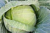 picture of water cabbage  - Fresh cabbage on the garden and water drop - JPG