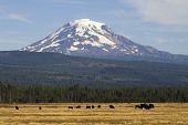 Grazing Cattle Ranch Countryside Mount Adams Mountain Farmland Landscape