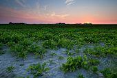 Summer Sunset Over .beet Field