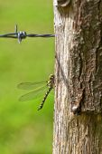 Autumn Hawker - Barbed wire