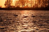 Swan Silhouettes On Lake At Sunset