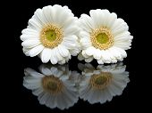 Two white gerberas with mirror image