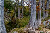 Colorful Giant Cypress Trees with Beautiful Fall Foliage on Tranquil Hamilton Creek