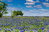 picture of bluebonnets  - A Beautiful Wide Angle Shot of a Field Blanketed with the Famous Texas Bluebonnet  - JPG