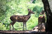 Axis Deer Or Spotted Deer With Its Fawn In Forests Of India.