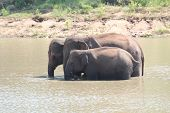 Three Indian Elephants(elephas Maximus Indicus) In A Natural Hab