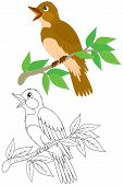 picture of nightingale  - Singing nightingale perched on a branch - JPG