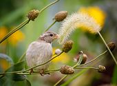 House sparrow sitting on a grass stalk