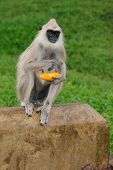 a gray langur monkey eating corn