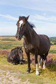 Dark brown wild ponies Quantock Hills Somerset England with purple heather